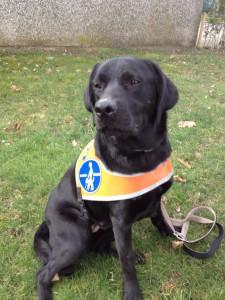 Blindenführhund in Ausbildung