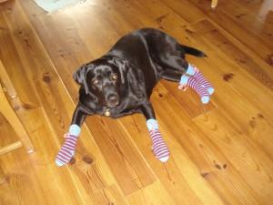 Blindenführhund Labrador Bella