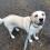 Labrador sucht neues Zuhause